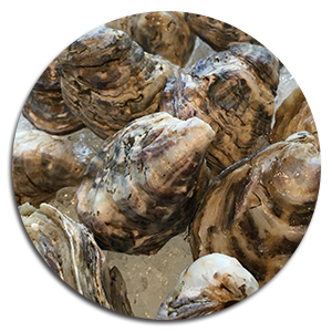 oysters_circle
